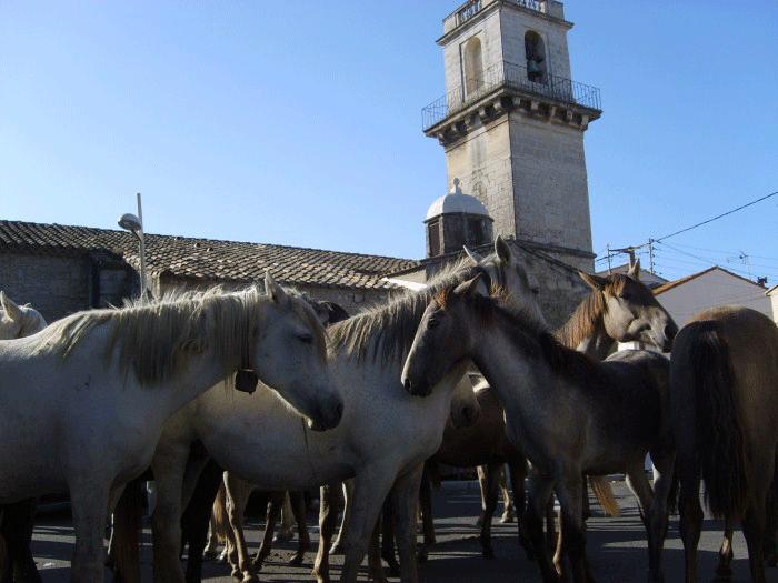 chevaux camarguais à Fourques